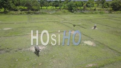 Buffalo In Rice Paddy De Champassak, Vu D'un Drone