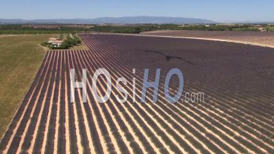 Lavender Fields On The Plateau De Valensole In Summer, Provence, South Of France - Video Drone Footage