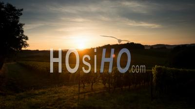 Sunrise Vineyard In Mist, Bordeaux Vineyard In Summer