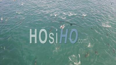 Enormous Pod Of Dolphins And Seals - Drone Point Of View