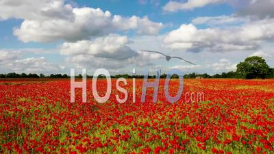 Poppy Field, Milton, Cambridgeshire Filmed By Video Drone Footage