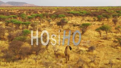 Drone Aerial View Over A Solo Beautiful Elephant Walking On The Savannah In Africa At Sunset On Safari In Erindi Park, Namibia