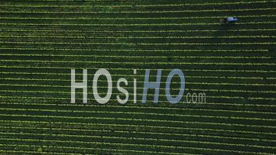 Tractors Working In Vineyard, Video Drone Footage