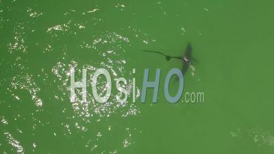 Vue Aérienne Sur Un Requin Blanc Nageant Au Large Des Côtes Le Long De La Côte Californienne - Vidéo Drone