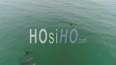 Vue Aérienne Sur Les Dauphins Nageant Dans Une Belle Mer Verte Près De Malibu, Californie - Vidéo Drone