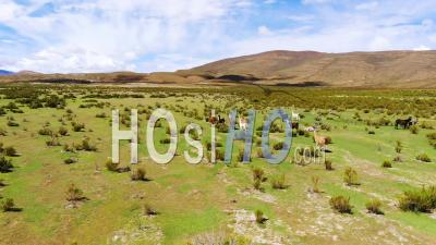 Aerial View Over Llamas Running On The Uyuni Plains In Bolivia - Video Drone Footage