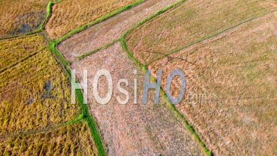 Rice Paddy Fields Getting Harvested, Philippines- Vidéo Drone