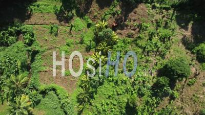Aerial View Of Banana Plantation - Martinique - Video Drone Footage