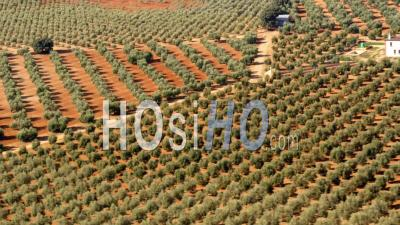 Aerial View Of (wide Shot) Olive Orchard With Lots Of Trees