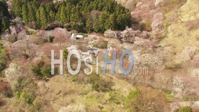 Sakura Trees Of Yoshino Mount, Nara Prefecture, Japan - Video Drone Footage