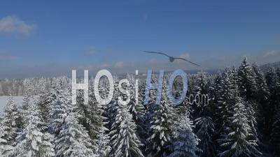 Snow And Firs - Drone Point Of View
