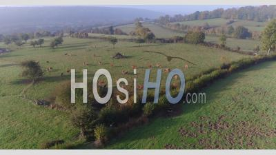 Drone Point Of View Around The Bocage Normandy, View Wit The Cows, Hermival Les Vaux, Calvados, Normandy, France