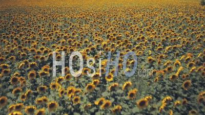 Rows Of Sunflowers In A Field In Spring. Aerial Drone View