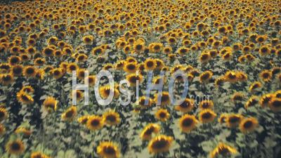 Rows Of Sunflowers In A Field In Spring Sunshine. Aerial Drone View