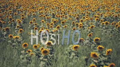 Rows Of Sunflowers In A Field In Summer. Aerial Drone View