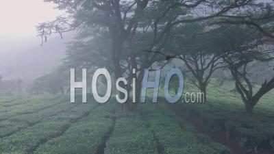 Paysage De Paysage De Plantation De Thé Brumeux Dans Les Montagnes. Vidéo Aérienne Par Drone