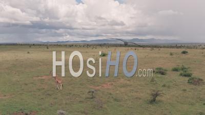Girafe Sur Un Safari En Vacances Dans La Savane Africaine Et Le Paysage Des Plaines à Laikipia, Kenya. Vidéo Aérienne Par Drone