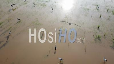 Aerial View Asian Openbill Stork In Paddy Field After Cultivated - Video Drone Footage