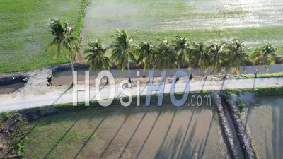 Aerial Sliding Over Row Of Coconut Trees At Paddy Field - Video Drone Footage