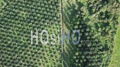Vue Aérienne De Haut En Bas Plantation De Palmiers à Huile - Vidéo Drone