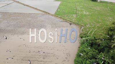 Aerial Follow Asian Openbill Flying - Video Drone Footage