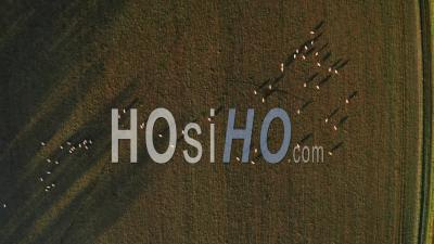 Vue Par Drone Vidéo De Moutons Dans Les Champs D'une Ferme En Campagne Rurale, Paysage De Terres Agricoles De Haut En Bas, Coup Vertical De Champs Verts Et D'animaux De La Ferme Dans Le Paysage Anglais, Gloucestershire, Angleterre, Royaume-Uni