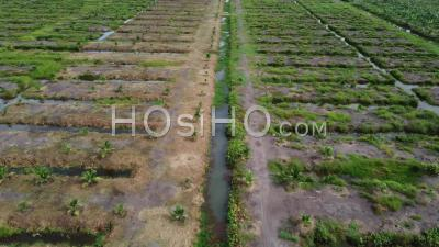 Fly Over Young Oil Palm Tree Planted - Video Drone Footage
