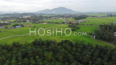Fly Over Palm Tree In Paddy Field - Video Drone Footage