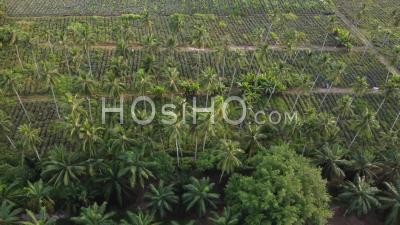 Aerial Sliding Coconut Palm Tree - Video Drone Footage