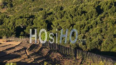 Vineyards In Banyuls, Viewed From Drone